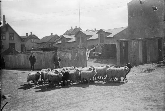 Maður rekur sauðfé á Hverfisgötu, 1920-1930.