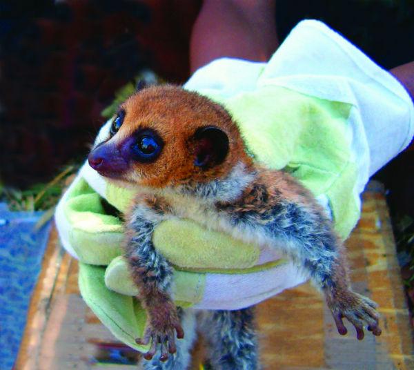 lavasoa-dwarf-lemur