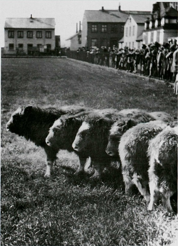 Þegar Íslendingar stráfelldu sauðnautahjarðir og sýndu kálfana á Austurvelli