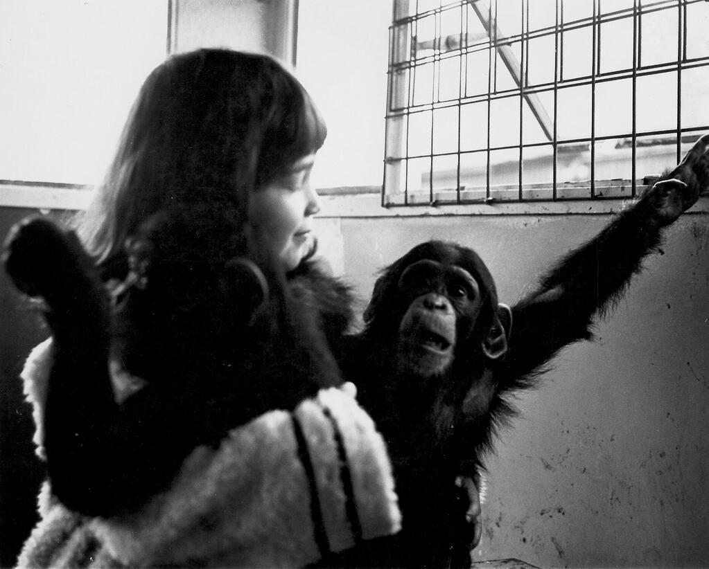 Vivian Kubrick heldur á mjög ungum simpönsum