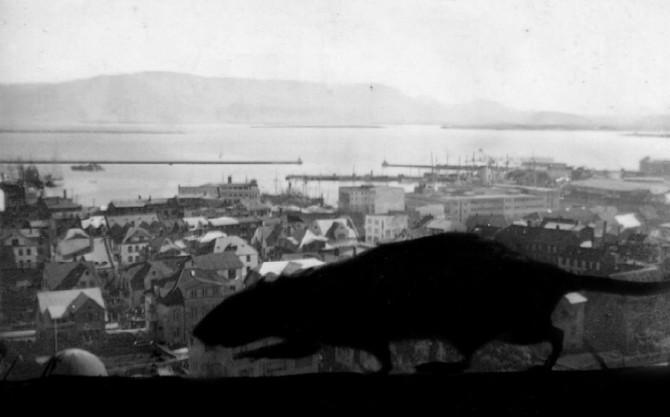 """""""Allsherjarrottueyðing er að hefjast"""": Rottuplágan mikla í Reykjavík 1946"""