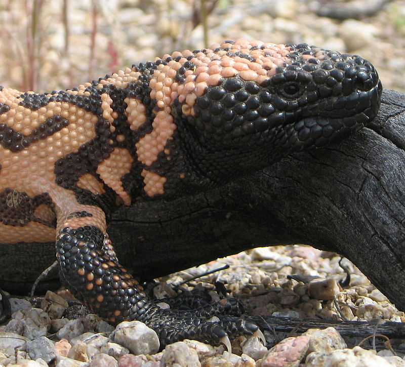 800px-Gila_Monster_head