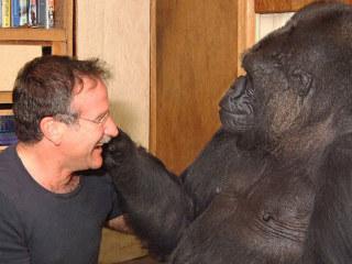Górillan og kattareigandinn Kókó syrgir vin sinn Robin Williams