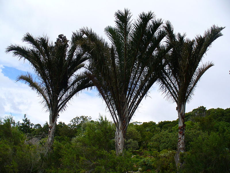 800px-raphia_australis