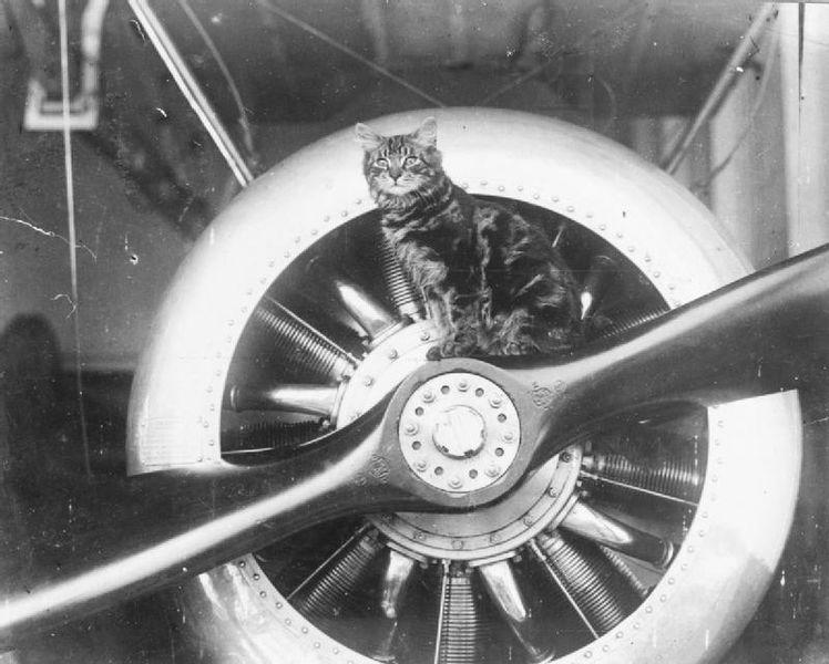 Pincher, skipskötturinn á breska flugmóðurskipinu HMS Vindex, tekur því rólega á skrúfunni á einni flugvélum skipsins. (Wikimedia Commons).