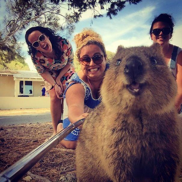 quokka-selfie-trend-cute-rodent-australia-16__605
