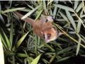marohita-mouse-lemur-130326