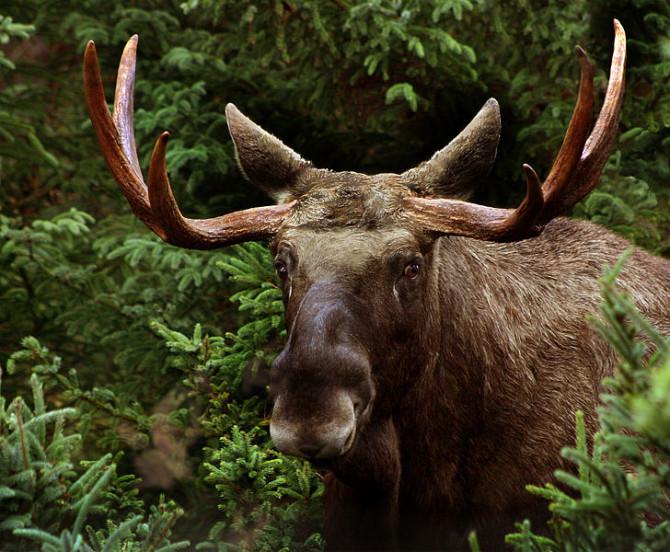 Agneta Westlund var fórnarlamb elgs