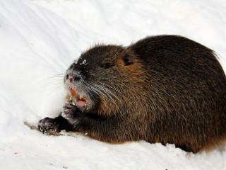 Nútría: Suðurameríska rottan sem flutti til Íslands