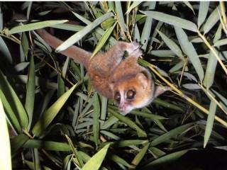 Vísindamenn á Madagaskar uppgötva enn fleiri nýjar lemúrategundir